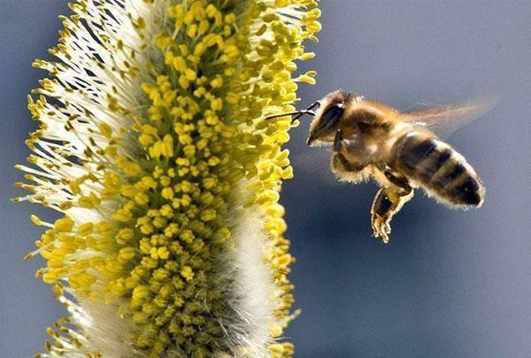 Медоносные травы (растения медоносы), высеваемые специально для пчел