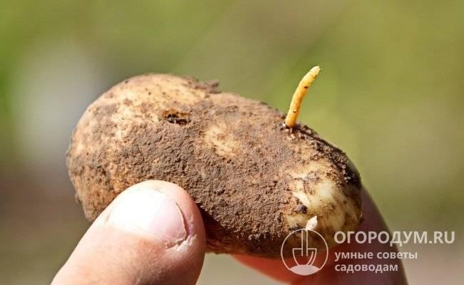 Что делать, если в картошке завелся проволочник: народные и химические средства