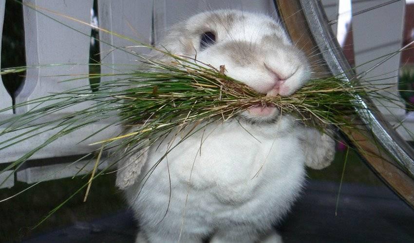Можно ли кроликам давать укроп