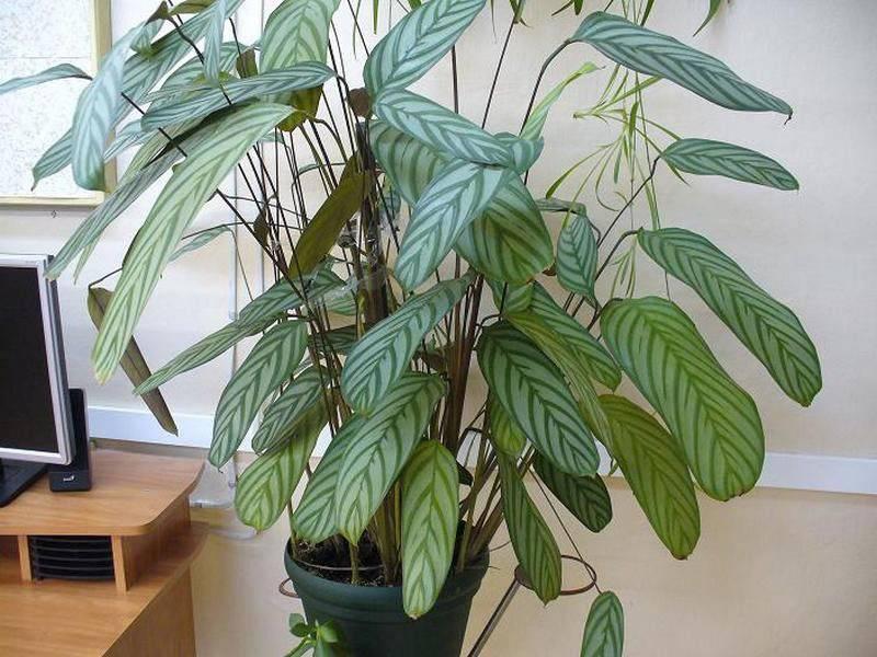 Ктенанта: уход в домашних условиях, фото декоративного растения