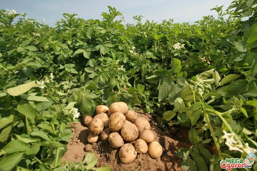 Урожайность картофеля: сколько килограмм можно собрать с 1 сотки