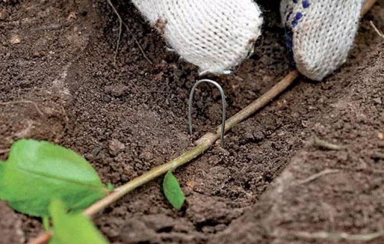 Размножение боярышника