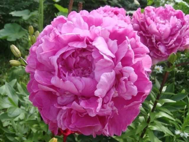 Пион молочноцветковый: описание 18 лучших сортов, правила посадки и ухода, размножение