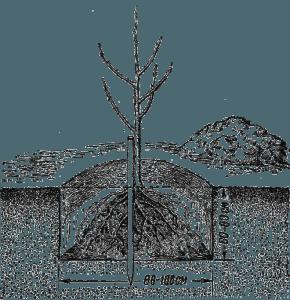 Уход за деревом груши. особенности ухода по сезонам