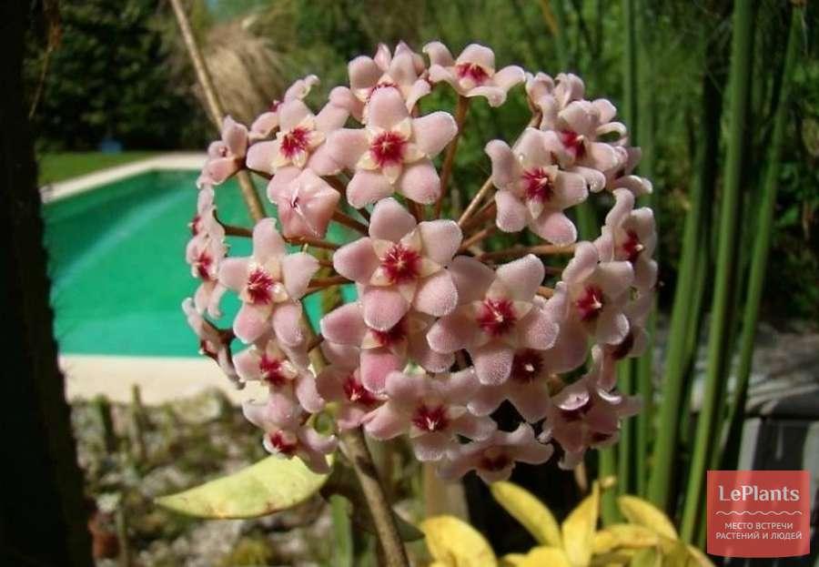 Хойя карноза: как выращивать необычную гостью из тропиков в домашних условиях?