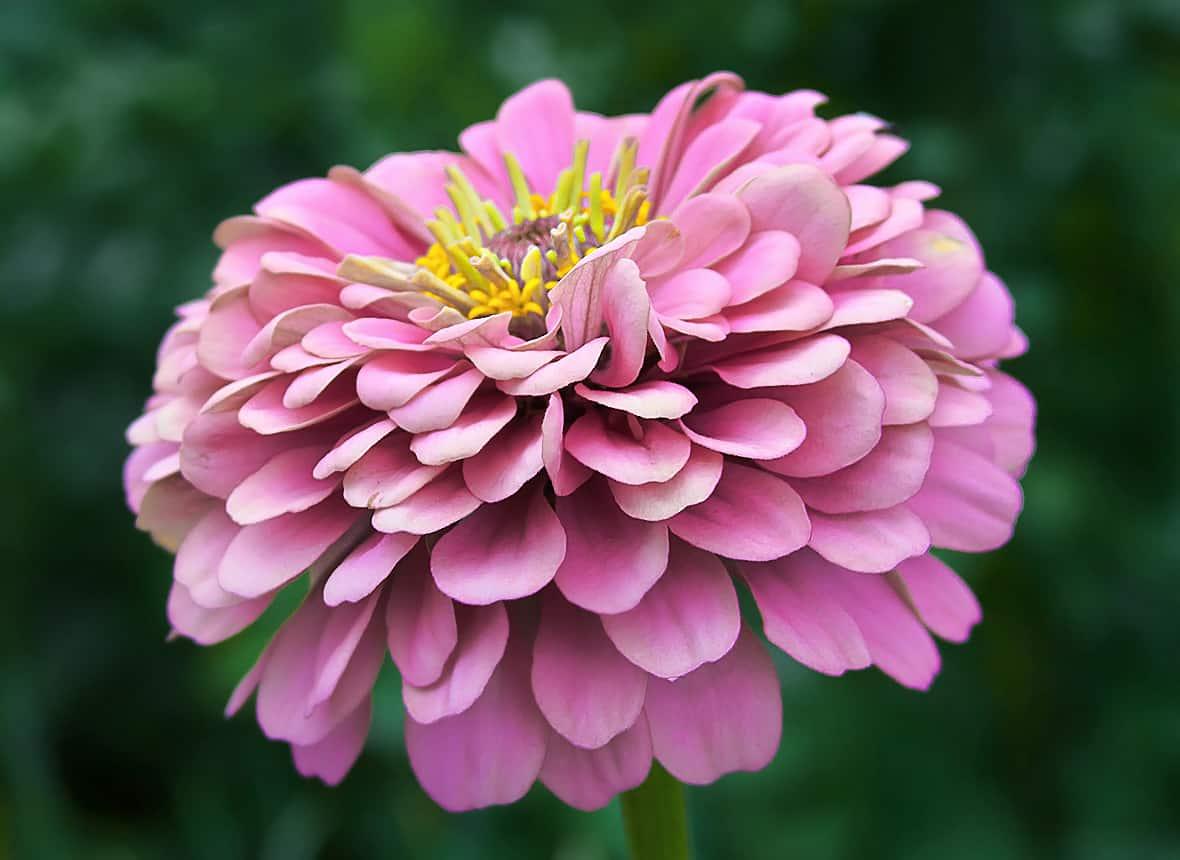 Посадка и уход за многолетней цинией + описание и применение цветка в дизайне сада, популярные виды и сорта с фото