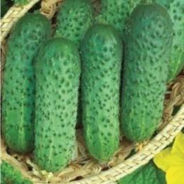Огурцы пучками: самые урожайные сорта и гибриды пучковых огурцов для теплиц и открытого грунта