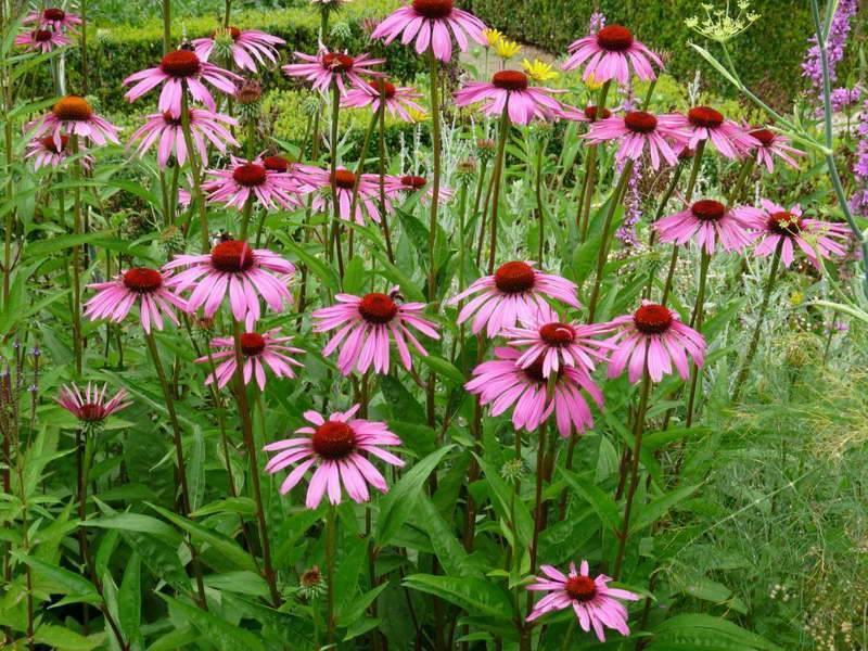 Растение эхинацея — выращивание из семян, посадка в открытый грунт и уход за цветком
