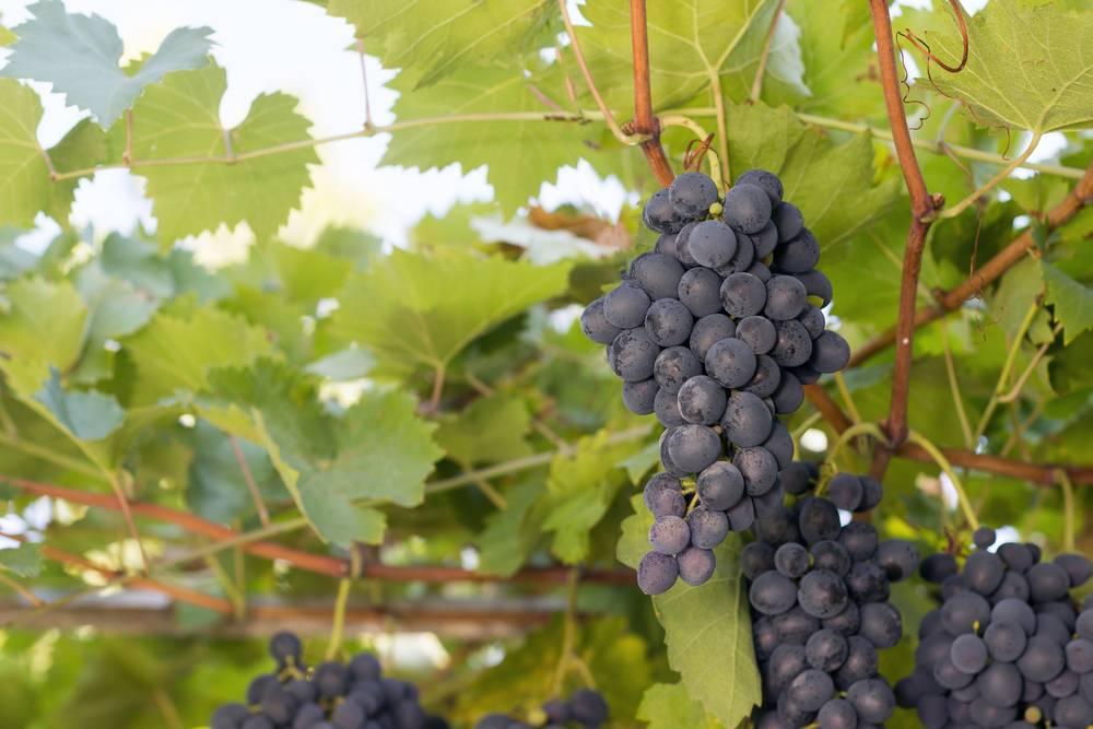 Виноград черный жемчуг: что нужно знать о нем, описание сорта, отзывы