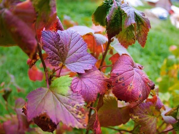 Уход за смородиной осенью. подготовка к зиме кустов смородины: обрезка, подкормка, укутывание; основные ошибки садоводов