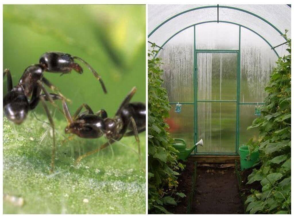 Как избавиться от муравьев в теплице раз и навсегда