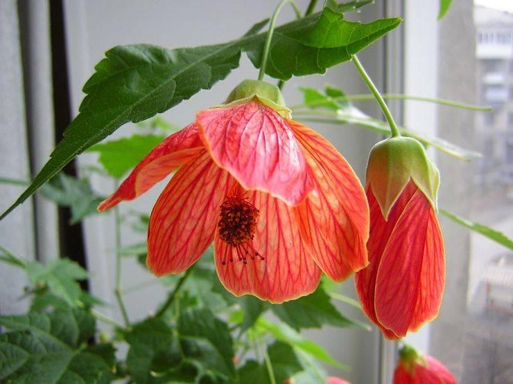 Абутилон - выращивание из семян и необходимые условия для цветения и (фото + видео)