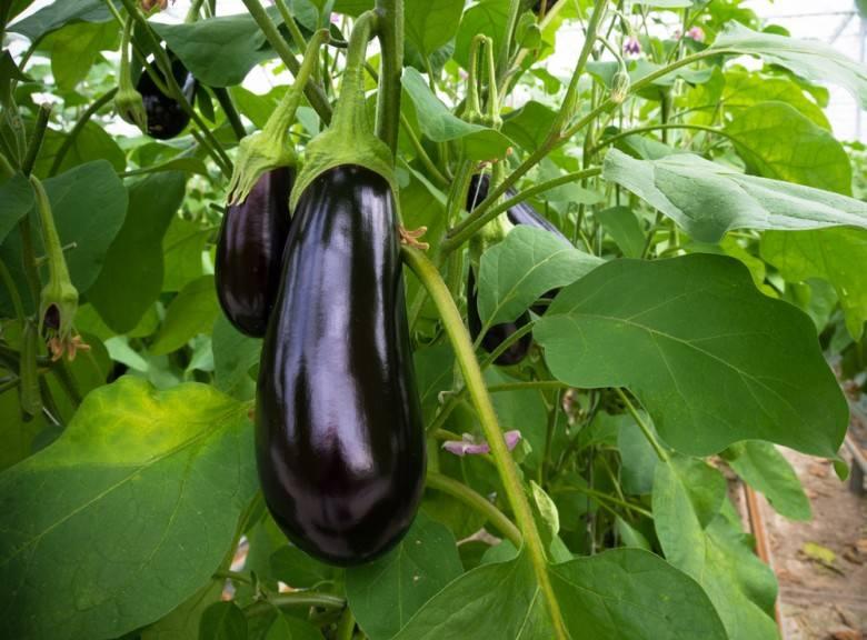 Баклажаны: выращивание и уход в теплице