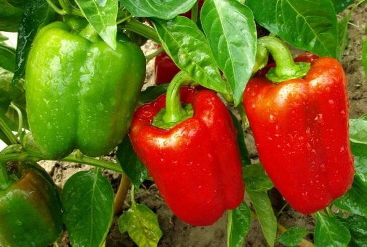 Подкормка рассады томатов и перца дрожжами: действие удобрения, инструкция по применению, рецепты приготовления растворов русский фермер