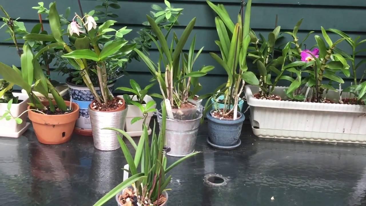 Брассавола: размножение, уход в домашних условиях + фото