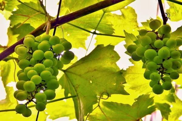 Виноград московский устойчивый описание, отзывы, фото