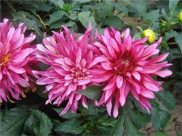 Георгины «гэллери»: описание, разновидности и выращивание