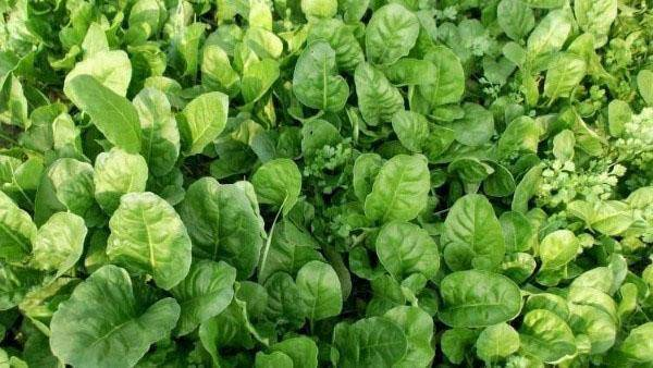 Как правильно сажать земляничный шпинат?
