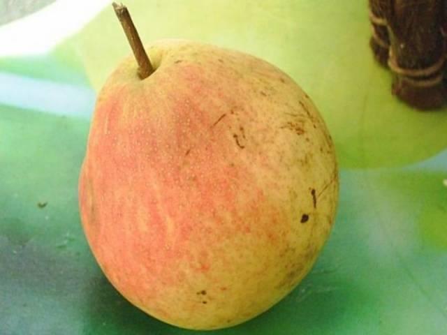 Груша бергамот: описание сорта, фото, особенности выращивания