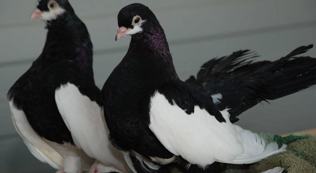 Пакистанские высоколетные голуби: фото, описание — selok.info