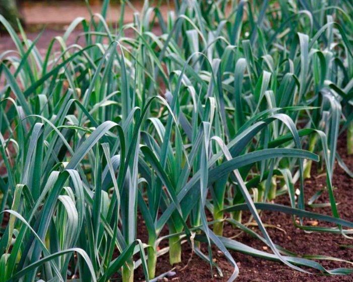 Лук порей в открытом грунте, выращивание, посадка и уход, сбор урожая и хранение