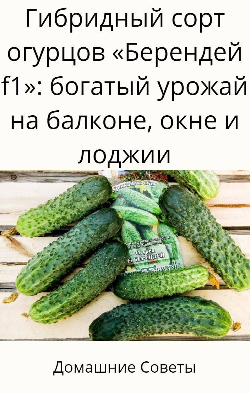 Характеристика огурцов сорта берендей