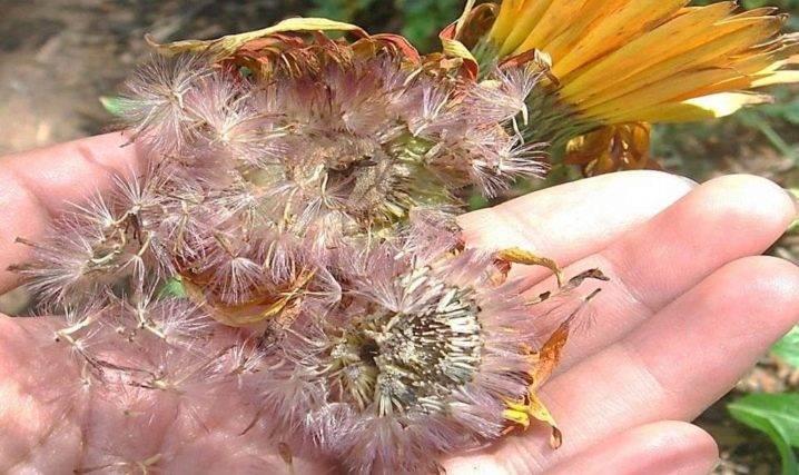 Как вырастить герберы в саду и в домашних условиях? рекомендации по уходу на ydoo.info