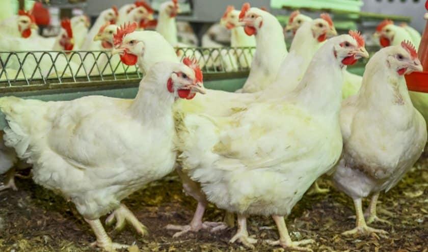 Как вылечить понос у цыплят