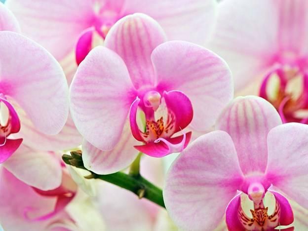 Почему в домашних условиях не цветёт орхидея