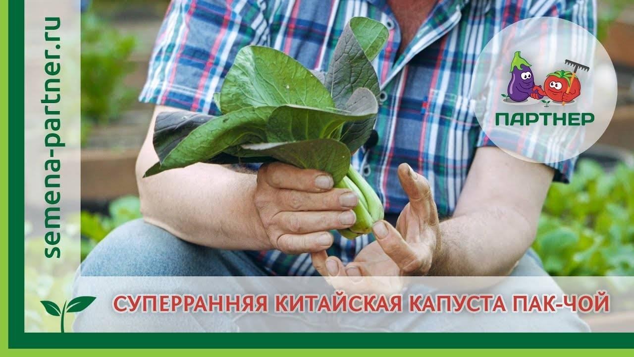 Китайская капуста (пак чой): популярные сорта, выращивание и уход, фото, отзывы