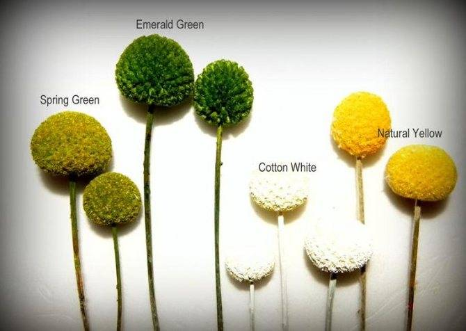 Шаровидная краспедия: особенности выращивания и ухода