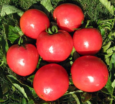 Томат «буденовка»: характеристика сорта. отзывы садоводов