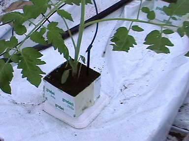 Полив помидоров в теплице из поликарбоната - как часто, когда и как правильно поливать