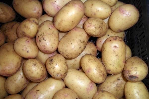 Картофель синеглазка: описание и характеристики сорта