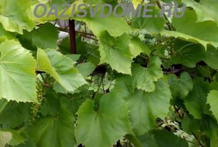 Как часто поливать виноград после посадки: разновидности поливов