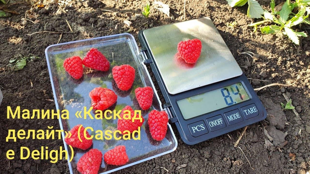 Малина «каскад делайт» — описание сорта, агротехника выращивания, уход и посадка ягоды в открытом грунте (фото)