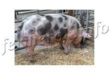 Премиксы для свиней: плюсы и минусы, состав и производители, правила применения
