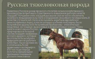 Советский тяжеловоз: описание породы