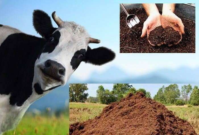 Коровий навоз как удобрение: как применять и для каких растений