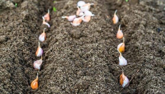 Проверенные способы выращивания чеснока в открытом грунте