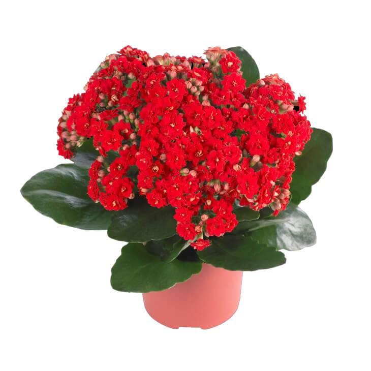 Домашний цветок каланхоэ: фото, описание растения, уход в домашних условиях и лечебные свойства каланхоэ