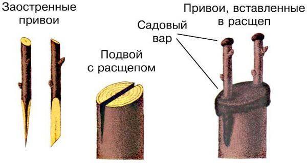 Способы прививки цитрусов