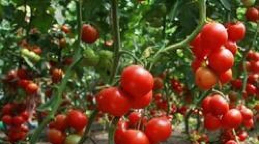 К чему снятся помидоры | sonmir