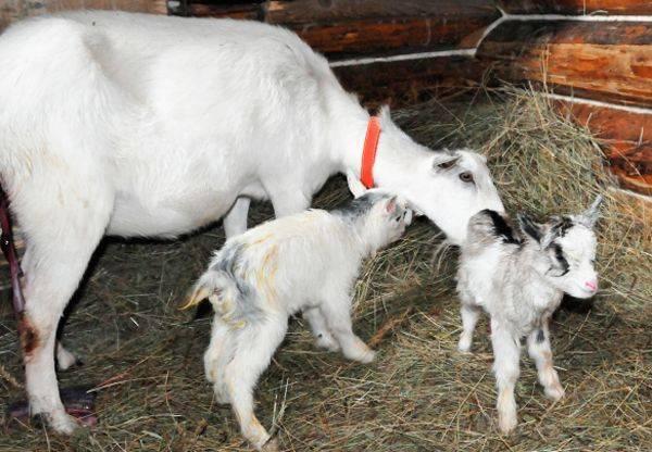 Коза перестала давать молоко: причины и методы их устранения