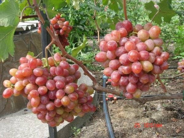 Виноград фавор: что нужно знать о нем, описание сорта, отзывы