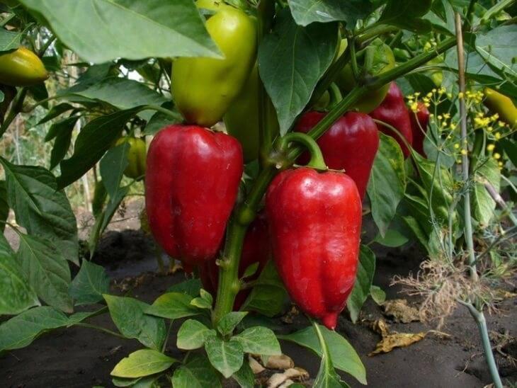 Лучшие сорта сладких перцев для посадки из семян