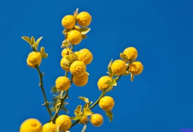 Комнатные лимоны (100+ фото): виды, уход, посадка и болезни