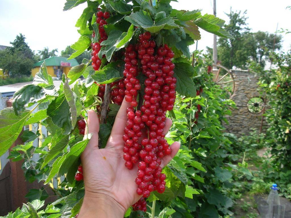 Подкормка смородины: нужно ли подкармливать кусты черного сорта после сбора урожая и чем; осенью это делать или летом; удобрять ли весной во время цветения