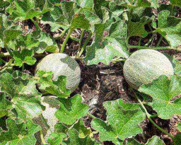 Сроки посадки арбузов в открытый грунт семенами для 2021 года по регионам