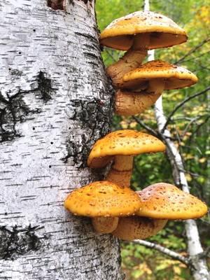 Пластинчатые грибы: фото съедобных с описанием